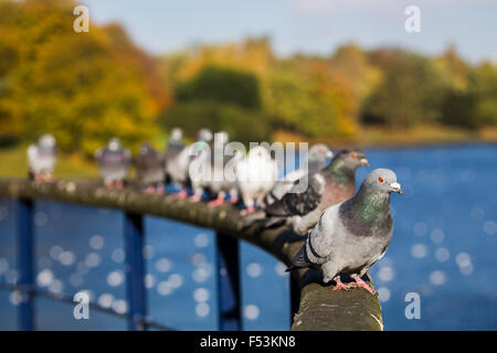 Line of pigeons sat on a curved rail at Sefton Park, Liverpool. - Stock Photo