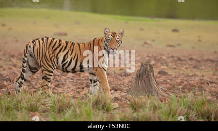 Tiger by lake front looking at you with a dried tree stump adding to the image, this is image is of a Royal Bengal - Stock Photo