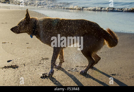 A wet dog dog shaking itself dry on a beach in Australia - Stock Photo