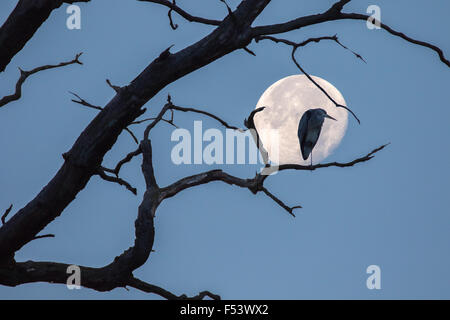 Grey heron (Ardea cinerea) sitting on a dead tree branch, full moon, Hesse, Germany - Stock Photo