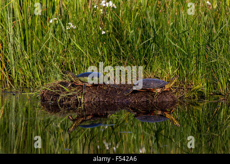 Painted turtles basking in the sun - Stock Photo
