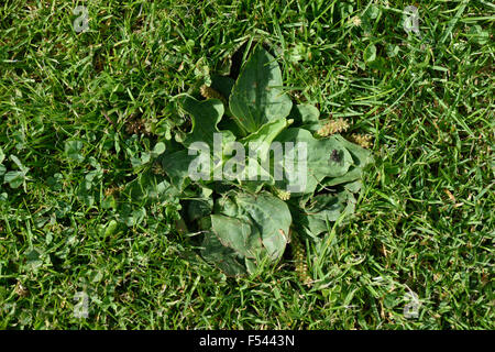 how to kill plantain weed in lawn