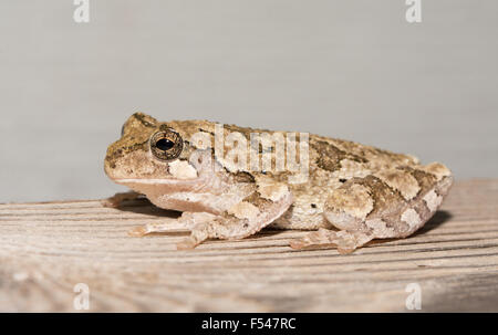 Cope's gray treefrog perched on a wooden rail at night - Stock Photo