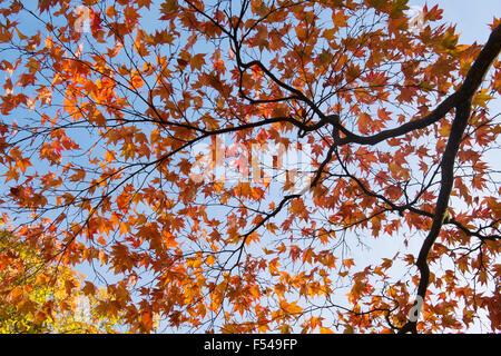 Acer Palmatum  Atropurpureum. Japanese Maple in autumn - Stock Photo
