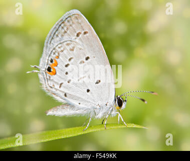 Dreamy image of a tiny Eastern Tailed Blue butterfly resting on a blade of grass - Stock Photo