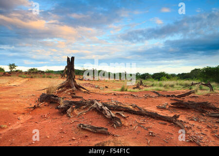 Dry trees and colorful skies at sunset in Sarigua national park (desert), Herrera province, Republic of Panama.