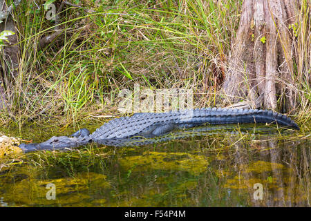 American alligator by bald cypress tree and Turner River by Tamiami Trail in the Florida Everglades, United States - Stock Photo
