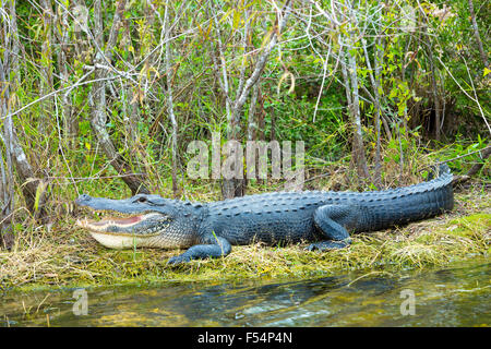 American alligator with mouth open showing its teeth basking by Turner River by Tamiami Trial, the Florida Everglades, - Stock Photo