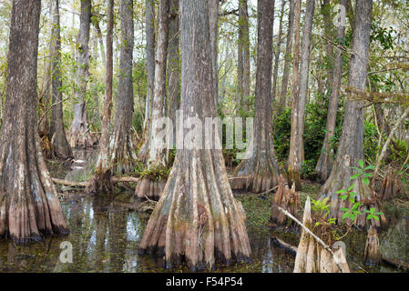 Forest of Bald cypress trees Taxodium distichum and swamp in the Florida Everglades, United States of America - Stock Photo