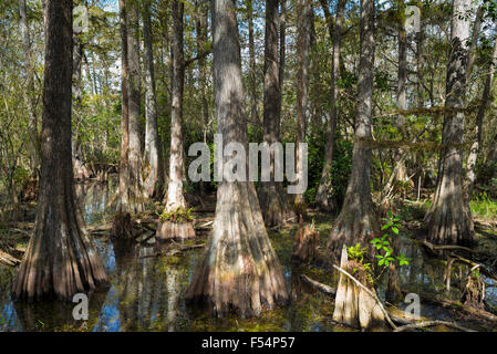 Forest of Bald cypress trees Taxodium distichum and reflections in swamp in the Florida Everglades, USA - Stock Photo