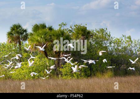 Flock of Great Egret - Ardea alba, Wood Stork - Mycteria americana, birds in flight over wetlands in Florida Everglades, - Stock Photo
