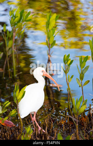 American White Ibis, Eudocimus albus, wading bird with long curved bill, in wetlands on Captiva Island, Florida - Stock Photo
