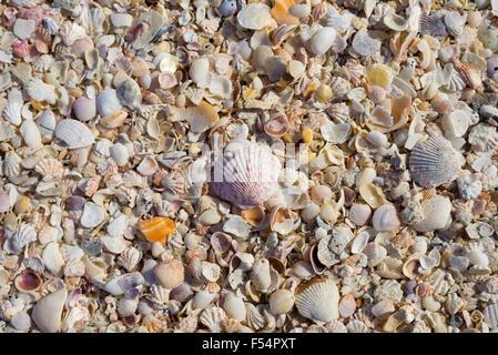 Sea shells on seashore on Captiva Island, Florida USA - Stock Photo
