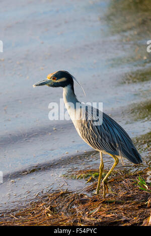 Yellow-crowned Night Heron, Nyctanassa violacea, wading bird by lagoon in wetlands on Captiva Island, Florida USA - Stock Photo