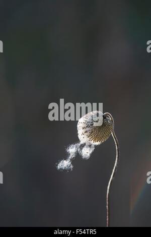 Japanese anemone seed head - Stock Photo