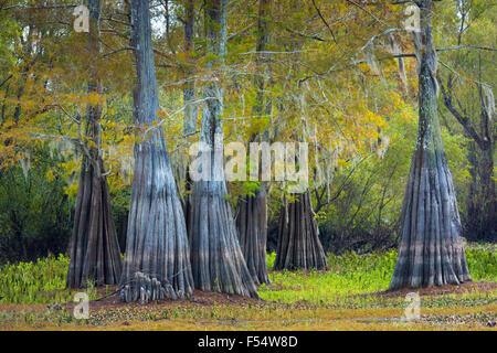 Bald cypress trees deciduous conifer, Taxodium distichum, showing high water marks  in Atchafalaya Swamp, Louisiana - Stock Photo