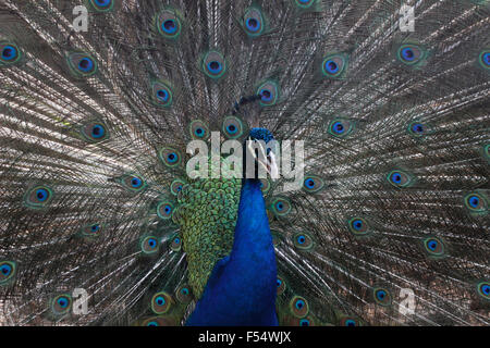 A blue peafowl (Pavo cristatus) spreads his feathers to attract female peacocks - Stock Photo