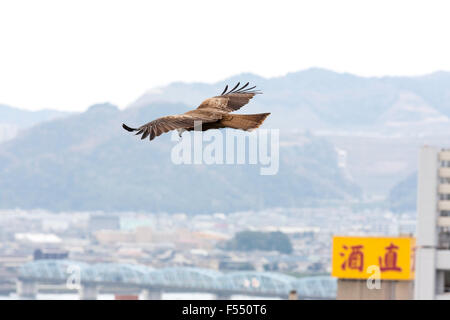 Japan. Viewer level with Black Kite, Milvus migrans, flying over Japanese city. Wings spread wide as it glides along - Stock Photo
