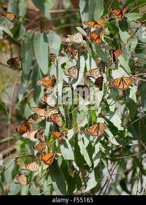 Monarch Butterflies (Danaus plexippus) - Stock Photo