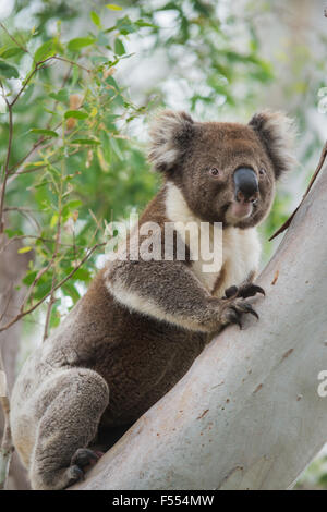 A large male wild koala poses on an gum tree in Australia - Stock Photo