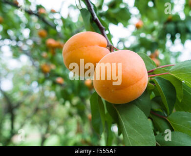 Two Apricots ripening on the tree. Two almost ripe apricot fruits hang from a leafy branch. - Stock Photo