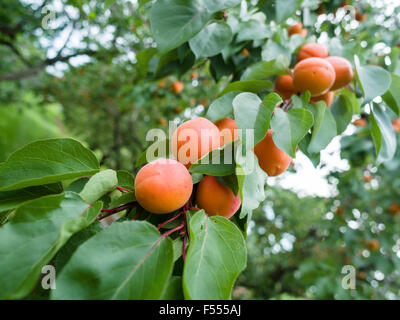 A long cluster of ripening apricots hang from a tree branch. Ripe and growing in the summer heat, yellow orange - Stock Photo