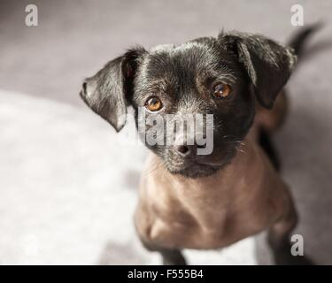 Puppy of mixed peruvian dog looking straight to the camera. Photograph taken from high view point - Stock Photo