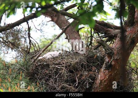 Northern Goshawk (Accipiter gentilis) in Japan - Stock Photo
