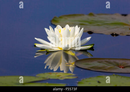 American white water-lily - Stock Photo