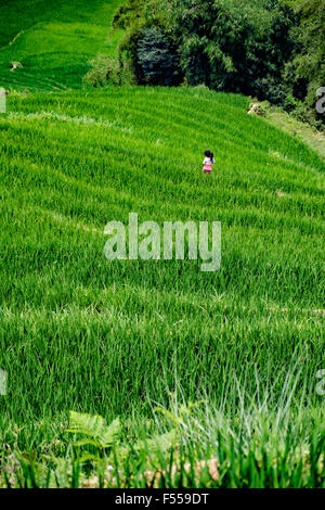 A little girl walks through the terraced rice paddy fields of the Muong Hoa Valley, Lào Cai Provence, North West - Stock Photo