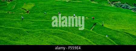 Workers in the terraced rice paddy fields of the Muong Hoa Valley, northern Vietnam. - Stock Photo