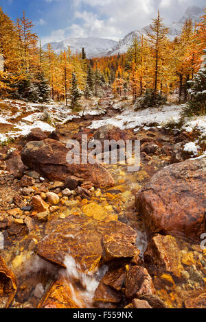 River through beautiful bright larch trees in fall, with the first snow dusting on the ground. Photographed in Larch - Stock Photo