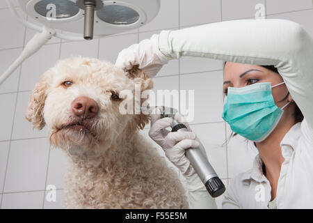 Young female veterinarian examining dog's ear with otoscope in clinic - Stock Photo