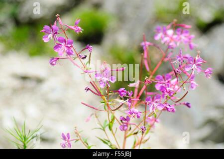 Pink Alpine wildflower, Photographed in Austria, Tyrol - Stock Photo