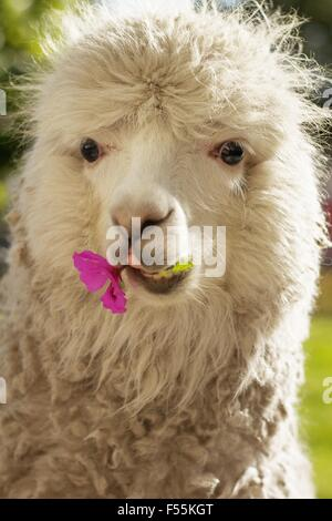 white lama chewing lila flower, Arequipa, Peru - Stock Photo