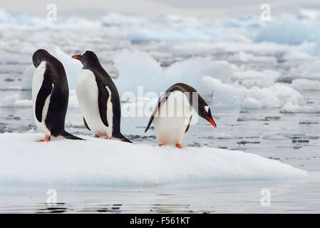 Three Gentoo Penguins - Stock Photo