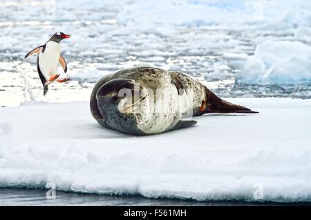Jumping Gentoo Penguin & Leopard Seal! - Stock Photo