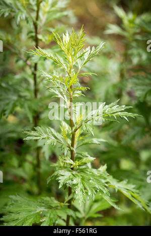 14.06.2015, Berlin, Berlin, Germany  - The common ragweed or the ragweed (Ambrosia artemisiifolia) originated in - Stock Photo