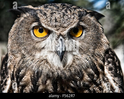 Bengalenuhu, Indischer Uhu, bubo bangalensis, Buho de Bengala, Buho Real Indio, eagle owl, indian eagle owl - Stock Photo