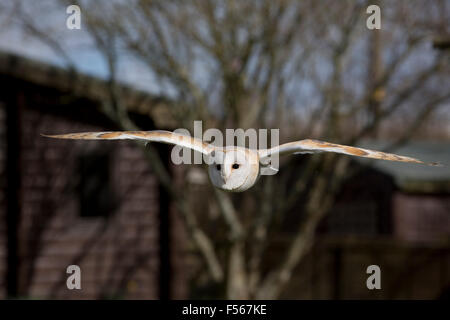 Barn Owl; Tyto alba Single in Flight; Cornwall; UK - Stock Photo