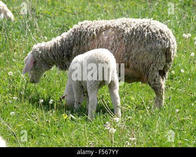 A close up of a sheep flock grazing on a meadow. - Stock Photo