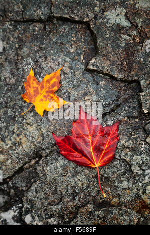 Red and yellow maple leaves on stone; concept of autumn, New England in the Fall; New Hampshire USA - Stock Photo