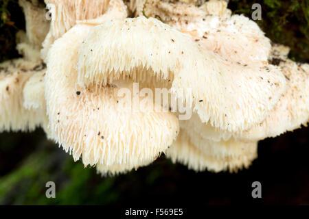Hedgehog Fungus;; Hericium erinaceum Autumn; Cornwall; UK - Stock Photo