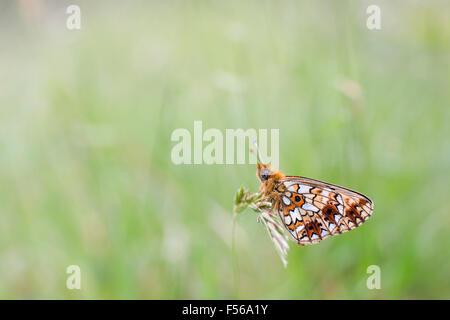 Small Pearl Bordered Fritillary Butterfly; Clossiana selene Single on Grass; Cornwall; UK - Stock Photo