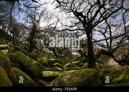 Wistman's Wood; Dartmoor; Devon; UK - Stock Photo