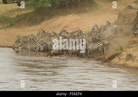 Large herds of wildebeest in the Masai Mara, Kenya, during the Great Migration - Stock Photo
