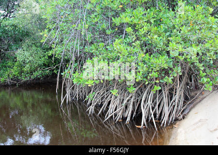 mangroves on the beach and murky water - Stock Photo