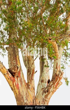 the beautifully colored bark of a paper bark tree, Melaleuca - Stock Photo