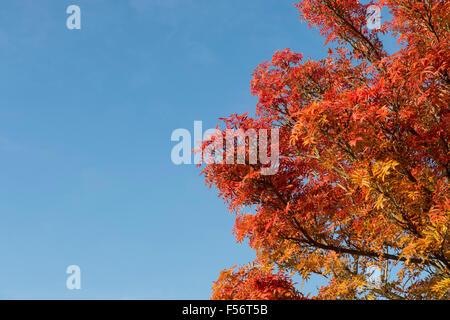 Sorbus. Rowan tree leaves in autumn against a blue sky - Stock Photo