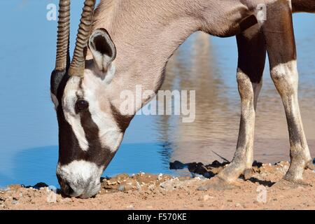 Gemsbok (Oryx gazella), licking minerals at waterhole, Kgalagadi Transfrontier Park, Northern Cape, South Africa, - Stock Photo